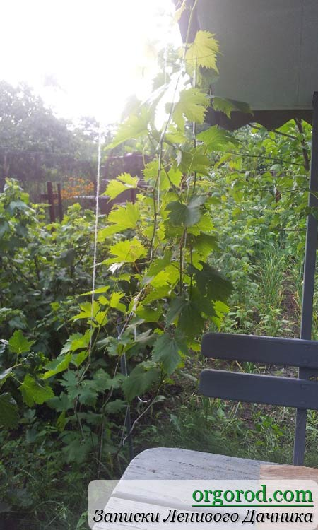 Виноград у родителей на даче