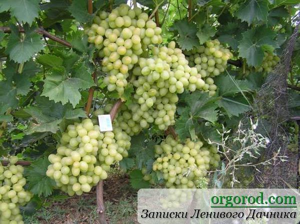 Виноград Сергея Сидоряки из Запорожской области