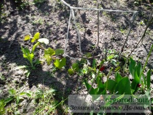 виноград на даче