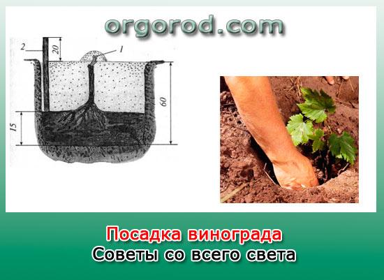 Посадка винограда: советы со всего света