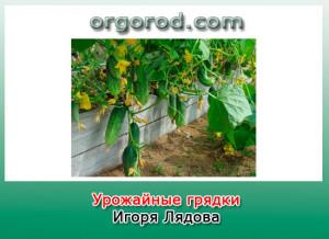 Урожайные грядки Игоря Лядова