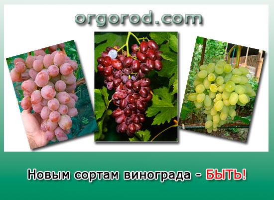 Новым сортам винограда – быть