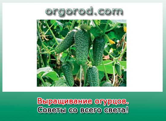Выращивание огурцов - советы со всего света