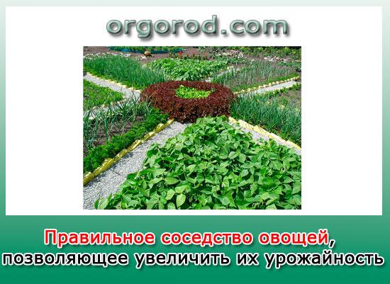 Правильное соседство овощей, позволяющее увеличить их урожайность
