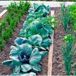 Соседство и чередование овощей на участке. Теория и практика севооборота
