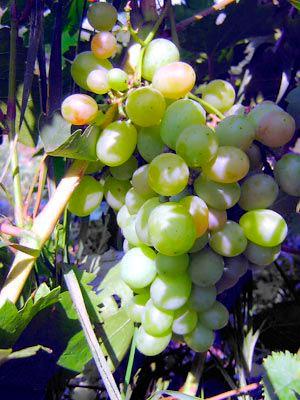 Европейско-азиатский вид винограда