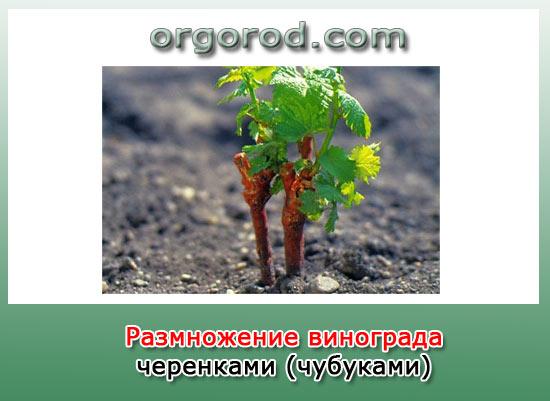 razmnozhenie-vinograda
