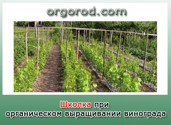 Школка виноградная