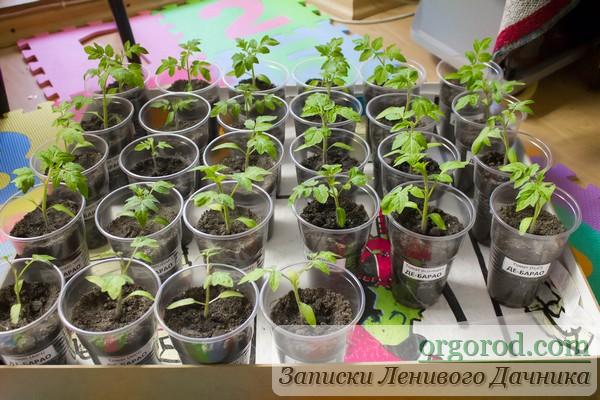 Первый полив экспериментальной рассады томатов