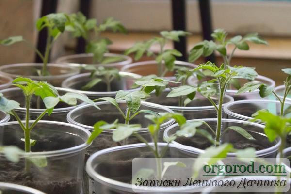 Экспериментальная рассада томатов после полива