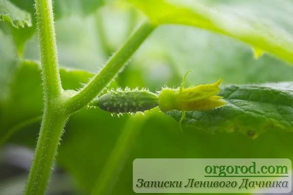Первые плоды на рассаде огурцов