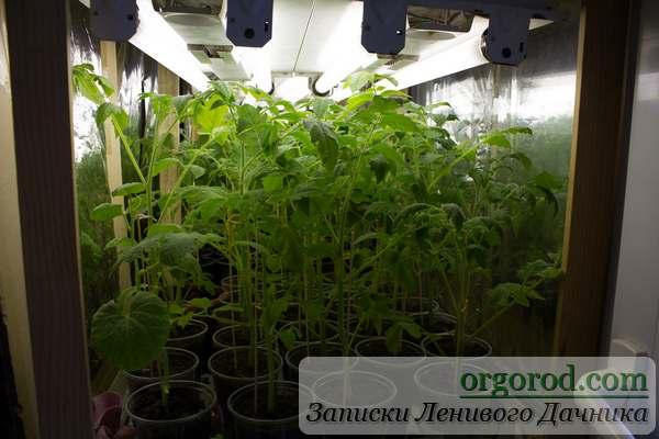 """Помидорный лес"""