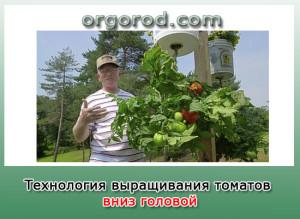 Технология выращивания томатов вниз головой