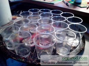 Подписанные стаканчики для замачивания семян