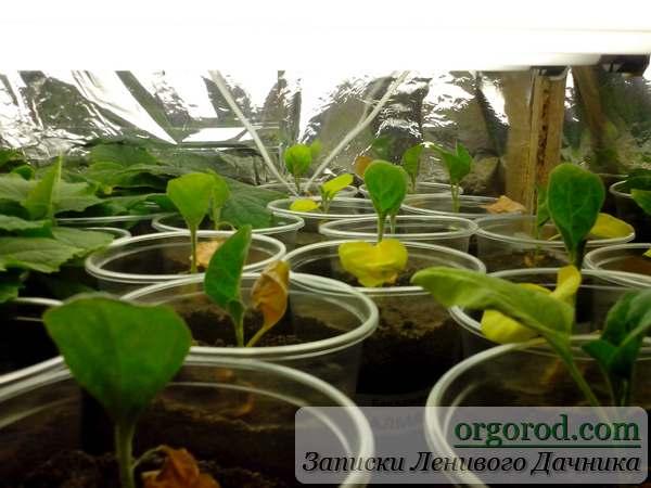Проблема с рассадой баклажан