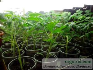 Рассада экспериментальных томатов после полива