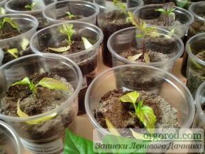 Проблема с рассадой перцев