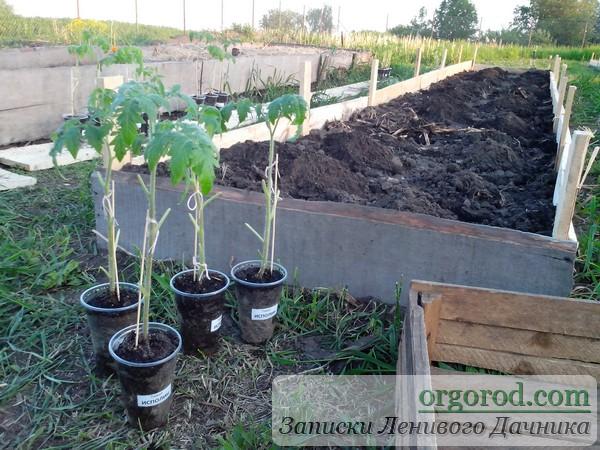 Горизонтальная посадка томатов