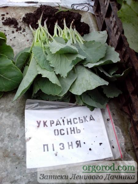 Базарная рассада капусты