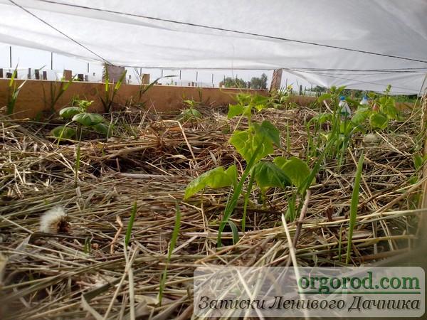 Огурцы под агроволокном