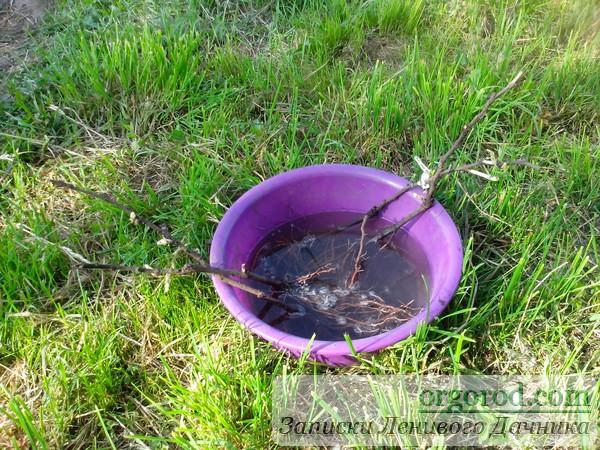 Замачивание корней винограда в воде