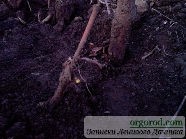 Почки на раскрытом винограде