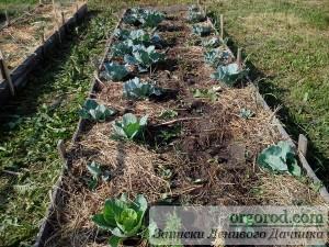 Пересадка рассады капусты