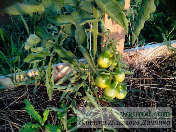 Помидоры на огороде