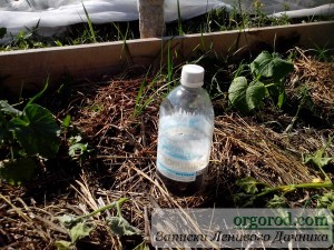 Прежний полив из ПВХ-бутылки