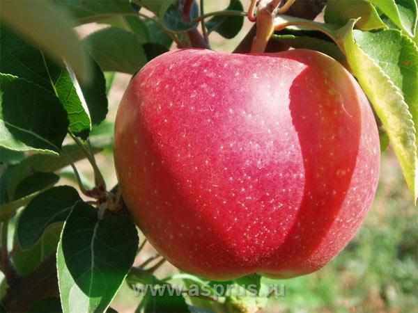 Яблоня сорт Элизе