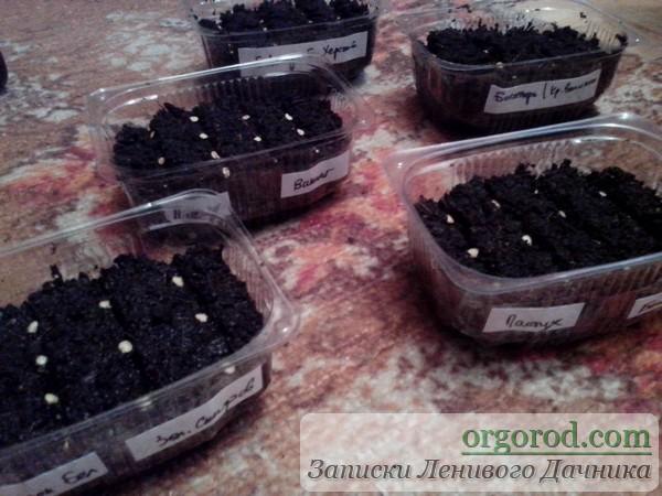 Посев перца и баклажан на рассаду