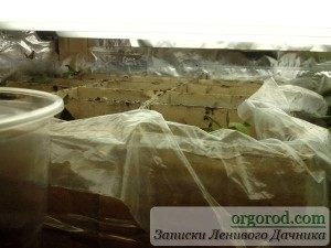 Пикированные сеянцы томатов