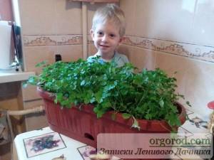 Выращивание петрушки на балконе