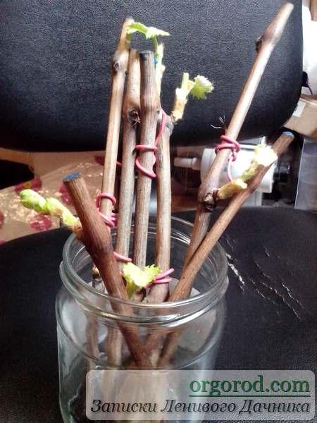 Выращивание саженца винограда на подоконнике