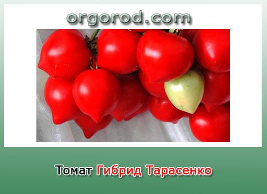 Томат Гибрид Тарасенко